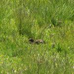 popandau (Spermophilus citellus) pe pajiste